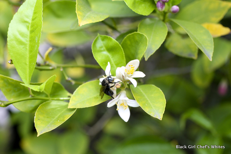 Bee on Meyer Lemon Blossom | Black Girl Chef's Whites