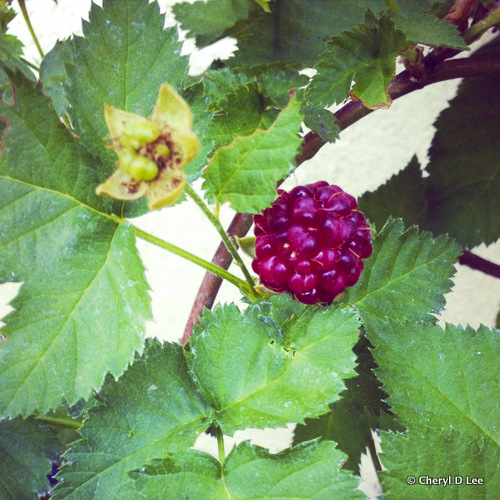 Ripening Boysenberry | Black Girl Chef's Whites